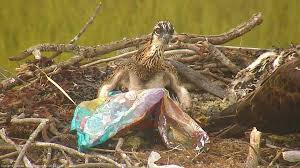 Osprey Chick Balloon